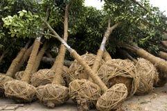 耕种结构树 图库摄影