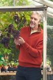 耕种葡萄的成熟人自温室 库存照片