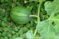 耕种西瓜 免版税库存照片