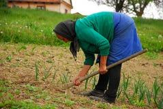 耕种豆的资深妇女 免版税库存照片