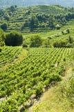 耕种winegrapes 免版税库存照片
