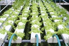 水耕蔬菜园艺 免版税图库摄影