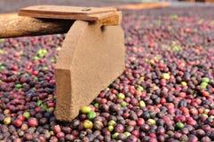 耙和新鲜的粗粒咖啡豆 库存照片