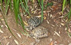 耦合乌龟 免版税图库摄影