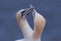 耦合招呼每gannet其他 免版税库存图片