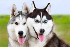 耦合狗多壳的西伯利亚雪撬 免版税库存照片