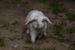 耳朵下垂的兔子 兔子走沙子 免版税库存图片