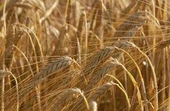 耳朵例证向量麦子 免版税库存图片