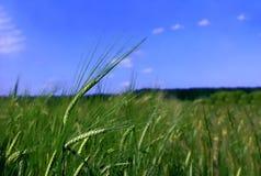 耳朵例证向量麦子 免版税图库摄影