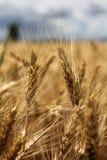 耳朵例证向量麦子 库存图片