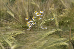 耳朵和雏菊在领域 免版税库存照片
