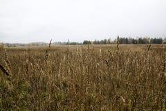 耳朵和gress的领域在一多云秋天天 免版税库存照片