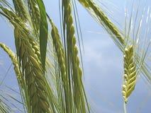 耳朵宏观射击麦子 库存图片