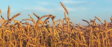 耳朵成熟麦子 免版税图库摄影