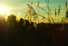 耳朵清淡的日落麦子 库存照片