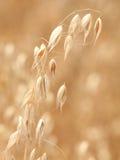 耳朵燕麦选拔 免版税库存图片