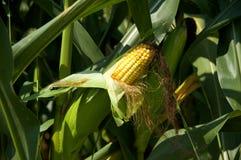 耳朵玉米 库存图片