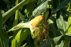 耳朵玉米 免版税库存照片