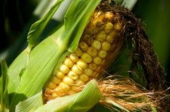 耳朵玉米 图库摄影