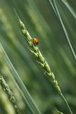 耳朵瓢虫麦子 免版税库存图片