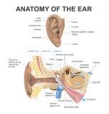 耳朵的解剖学 免版税库存照片