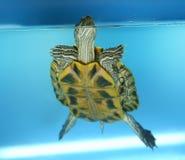 耳朵红色草龟 库存照片