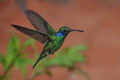 耳朵绿色蜂鸟紫罗兰 库存照片