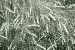 耳朵绿色黑麦 免版税图库摄影