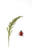 耳朵草瓢虫 库存图片