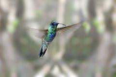 耳朵蜂鸟闪耀紫罗兰 库存照片