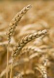 耳朵调遣前金黄二麦子 免版税库存图片