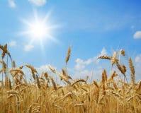 耳朵金黄成熟麦子 库存照片