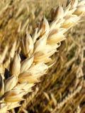 耳朵金黄收获麦子 免版税库存照片