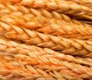 耳朵金黄麦子 图库摄影