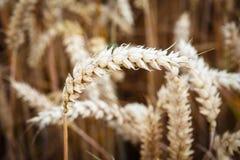 耳朵领域金黄麦子 库存图片