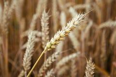 耳朵领域金黄麦子 免版税库存照片