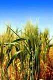 耳朵领域麦子 免版税库存图片