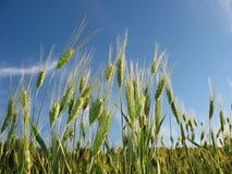 耳朵领域黑麦 免版税库存图片