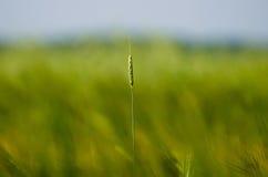 耳朵领域绿色夏天草种子 库存照片