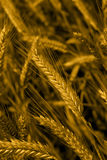 耳朵麦子 库存图片