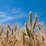 耳朵麦子 库存照片