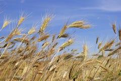 耳朵黑麦 免版税图库摄影