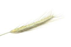 耳朵黑麦 免版税库存照片