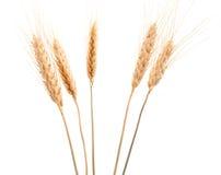 耳朵黑麦 库存图片