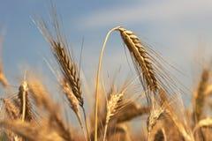 耳朵黑麦 免版税库存图片