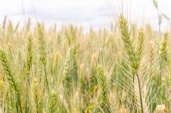 耳朵绿色麦子 绿色和黄色背景 库存照片