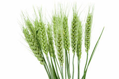 耳朵绿色麦子 免版税库存图片