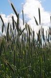 耳朵绿色麦子 免版税图库摄影