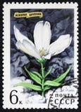 耳草属花,一系列的图象`开花`大约1977年 免版税库存照片