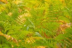 耳蕨一家美丽的野生植物,新和绿色样式背景 库存图片